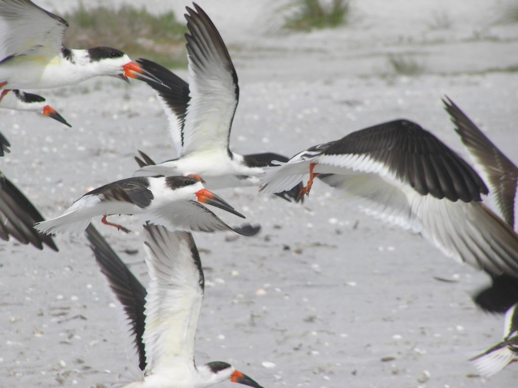Blacks Skimmers