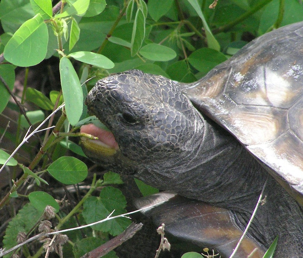 Gopher Tortoise 4
